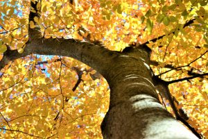 Picture looking up at a large tree with golden yellow leaves.